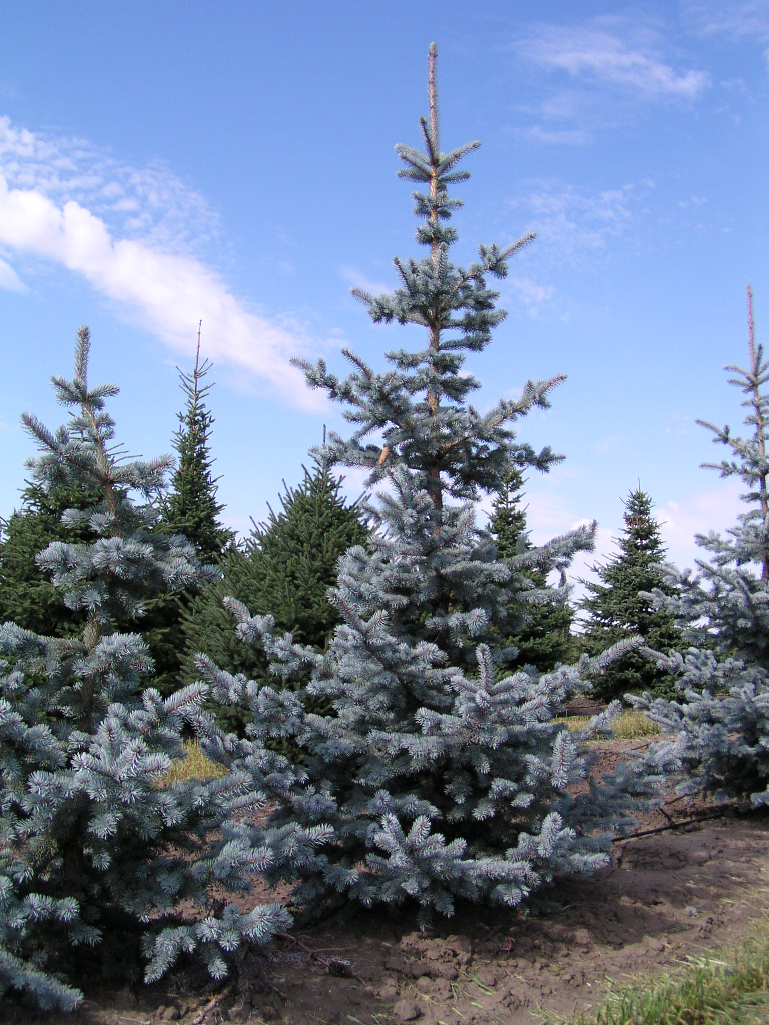 Royalty Free Blue Spruce Pictures, Images and Stock Photos - iStock Pictures of blue spruce